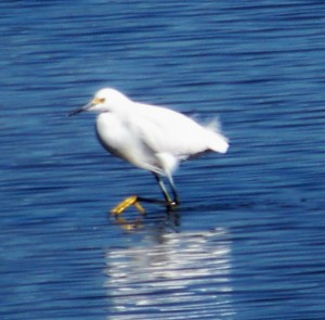 St. Mark's Refuge; egret; KMHuberImage