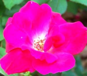 Rose of Waverly Park; KMHuberImage