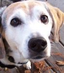 KMHuberImage; Cooper; Beagle mix
