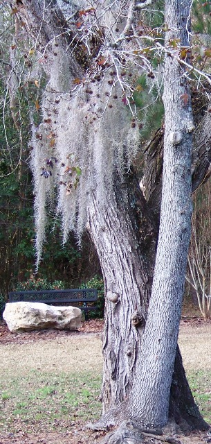 Old Woman Tree; KMHuberImage; Tallahassee Park in Winter