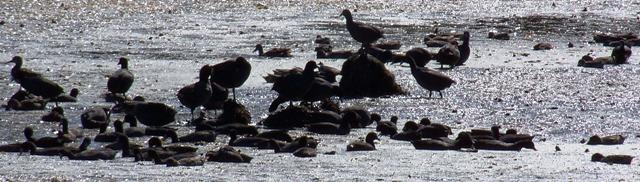 KMHuberImage; Mud hens; St. Mark's Refuge FL