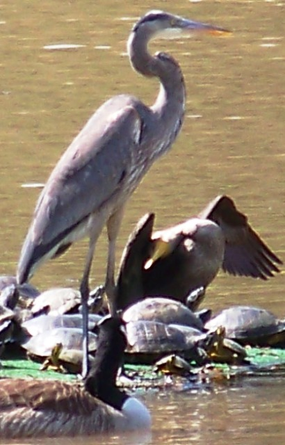 Heron on Turtle Row 0213