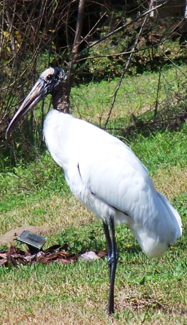 Wood Stork at Waverly 0213
