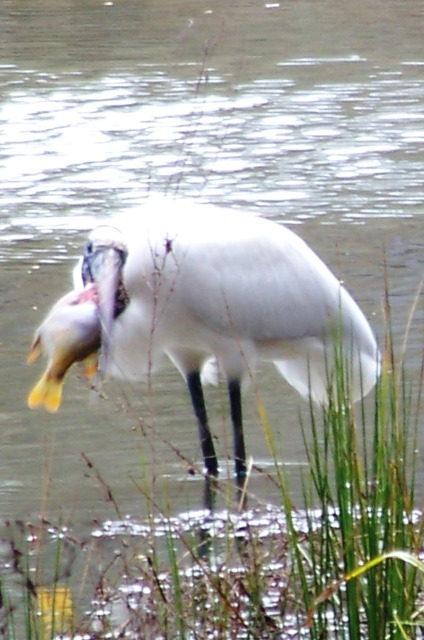 KMHuberImage; Wood Stork Fishing