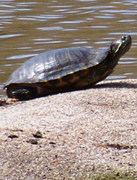 KMHuberImage; Florida turtle sunning