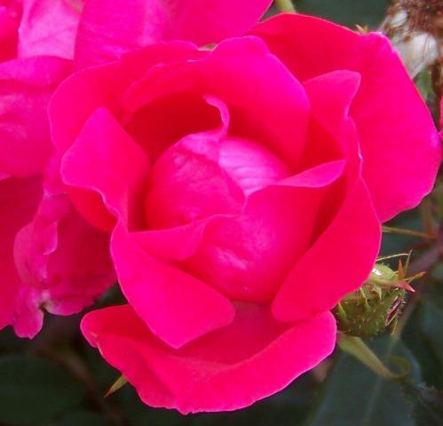 Spring Rose 0513