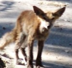Fox pose 1013