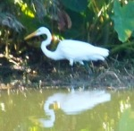 Snowy Egret in fall 1013