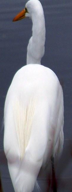 Snowy egret-110311