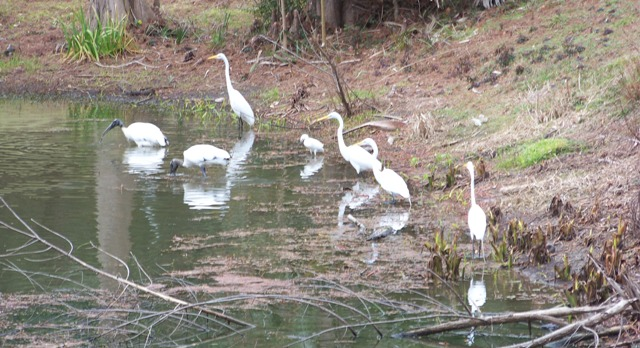 Storks and Egrets Waverly 0214