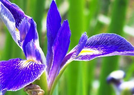 Iris in spring 0314