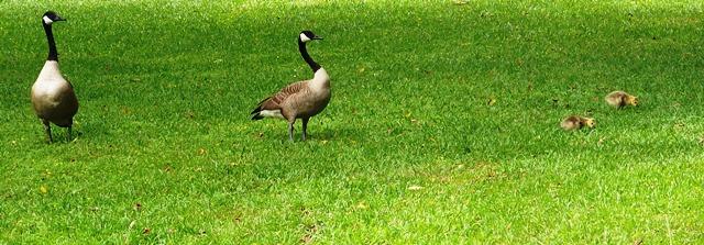 Goose Family 0514