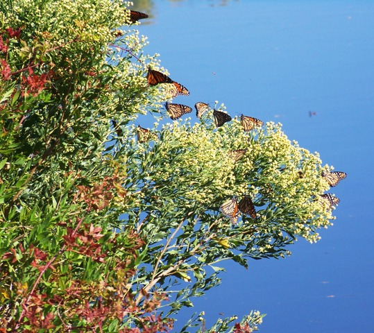 Monarchs on the Water 1014