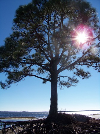 ocean pine 0215